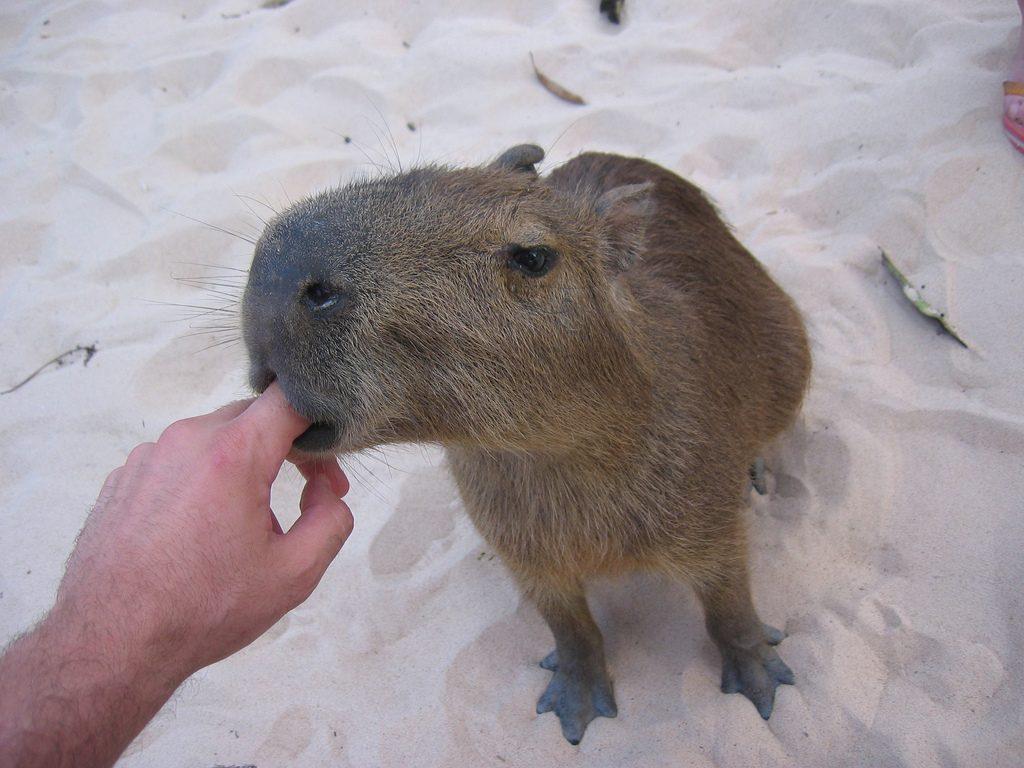 Il giorno del capibara